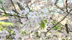 Close Up Branches Of A Cherry Blossom Tree 05 Stock Footage