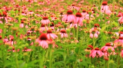 Echinacea flowers Stock Footage