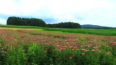 Enchiacea field Stock Footage