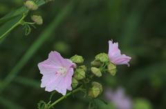 Hollyhock Mallow Stock Photos