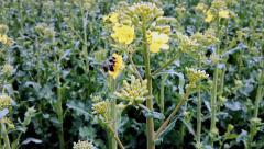 Fleet bee collects pollen Stock Footage