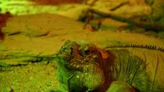 Rhinoceros iguana yawning Stock Footage