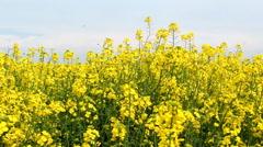 Oilseed rape flowers swinging on wind - steadycam shot - stock footage