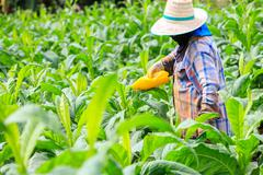 Thai woman put Insecticide and fertilizer in tobacco plant Kuvituskuvat