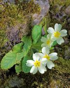 Primula flowers - stock photo