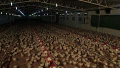 Chicken farm. Chickens feed from feeders and drink water from drinkers. Pan left Stock Footage