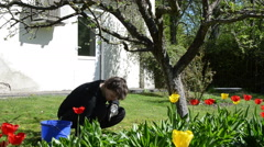 Tilt down of gardener woman work between tulip flower beds Stock Footage