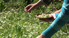 Young and old hands pick camomile flower blooms in wicker dish Stock Footage