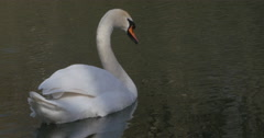 Swan scratching his neck with his foot Stock Footage