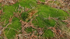 Coniferous forest moss and fallen needles motion footage Stock Footage