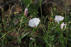 Field Bindweed On Rocks Stock Photos