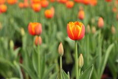 Close up of orange tulips flowers in the garden - stock photo