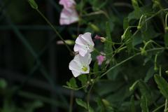 Field Bindweed Stock Photos