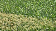 Corn farm plants (pan shot) Stock Footage