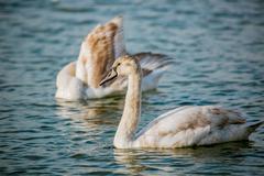 Swan swimming in sea - stock photo