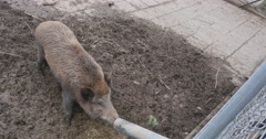 Wild boar at zoo Stock Footage