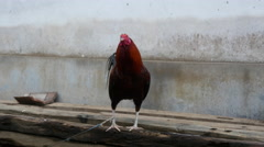 Rooster tied up in Bali, Indonesia Stock Footage