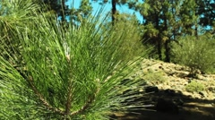 Canary Island pine needles close up Stock Footage