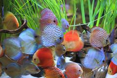 Stock Photo of symphysodon discus in a tank with aquatic plants
