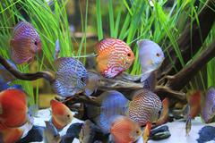 Symphysodon discus in a tank with aquatic plants Stock Photos