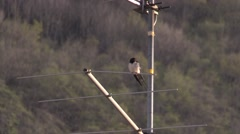 Bird (swallow) on antenna on sunset flying away - other birds singing Stock Footage