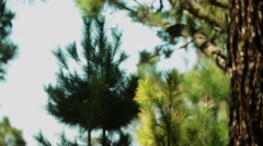 Canary Island pine Stock Footage