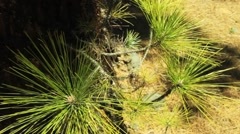 Canary Island pine needles close up 2 Stock Footage
