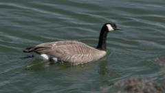 Canadian Geese in River Stock Footage