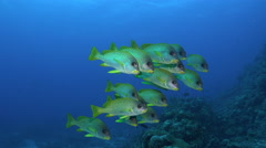 Stock Video Footage of school of colourful tropical fish, black spotted sweetlips - Red Sea, Two clip!
