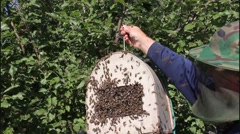 Swarming bees. Formation of a new colony (family) bees. Stock Footage