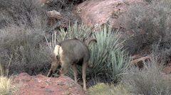 Dominant Buck Thrashes a Yucca Plant Then Looks at His Opponent Stock Footage