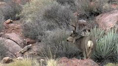 Dominant Buck Rub Urinates and Rakes a Tree Stock Footage