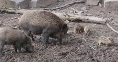 Wild boar pig and piglets digging in the dirt Stock Footage
