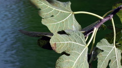 Fig leaves on Blue Water - stock footage