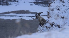 Ibexes in cliff Stock Footage
