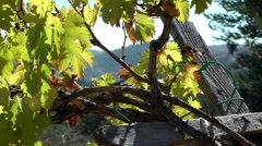 Grapevines, growing in a vineyard - stock footage