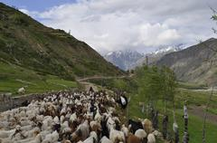 Nomad Tribe with thier sheeps in Himalayas Mountains - stock photo