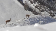 Ibexes in snowy landscape Stock Footage