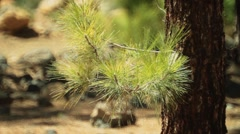 Canary Island pine needles Stock Footage