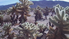 Close Up Cholla Cactus Plants- Joshua Tree National Park Stock Footage