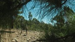 Canary Island pine forest Stock Footage