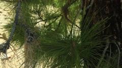 Canary Island pine needles 2 Stock Footage