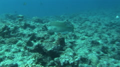 Parrot Fish in Deep Sea Coral - PALAU Stock Footage