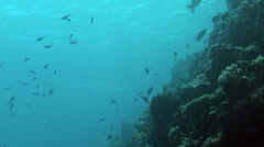 Diving Underwater off the South Pacific Island of PALAU Stock Footage