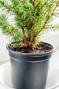 Closeup of the evergreen tree in the pot - stock photo