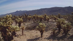 Wide Shot Cholla Cactus Grove And Mountains- Joshua Tree National Park Stock Footage