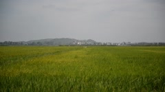 Storks flying over a rice field Stock Footage