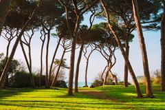 Maritime Pine tree group. Baratti, Tuscany. - stock photo
