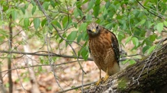 Red-shouldered Hawk Hunting for Prey Stock Footage