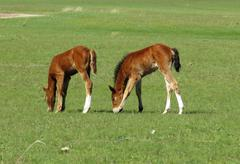 Foals in the steppe - stock photo